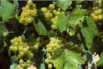 Pouilly-sur-Loire with the Sauvignon grape