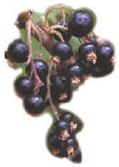 Blackcurrents, an ingredient of Kir