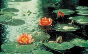 Claude Monet's water lilies in his house at Giverny